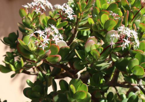 Денежное дерево по фен шуй: где посадить и как ухаживать