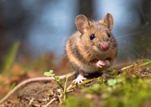 К чему снятся мыши в большом количестве по сонникам Миллера, Ванги