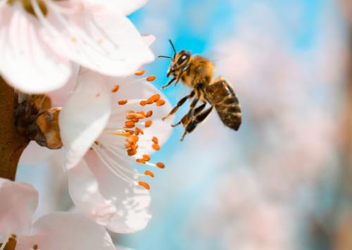 Цветочная пыльца - это... Что такое Цветочная пыльца?